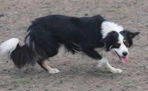 Sheepdog training herding training